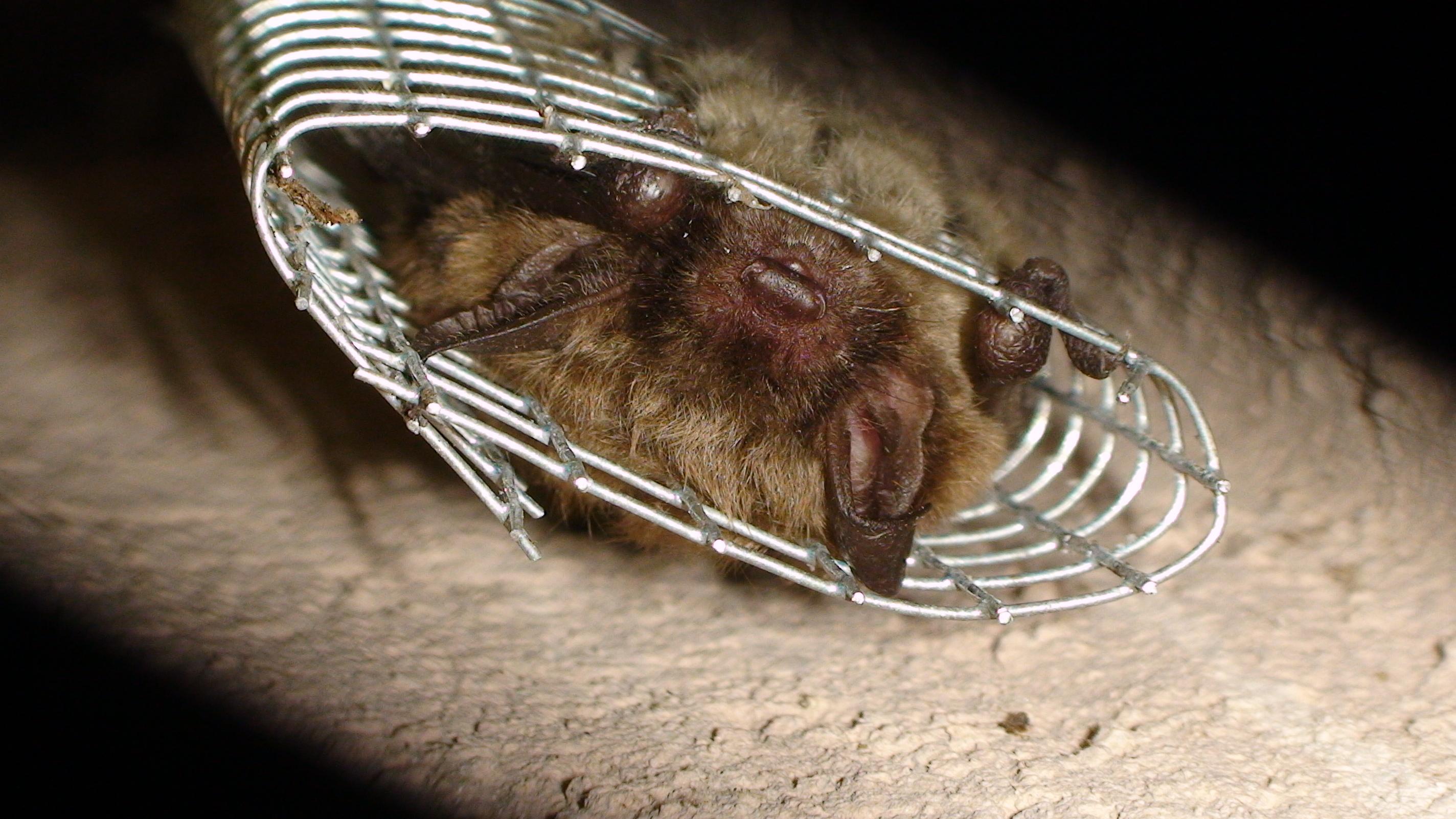 Windsor Bat Removal Dane County Bat Removal