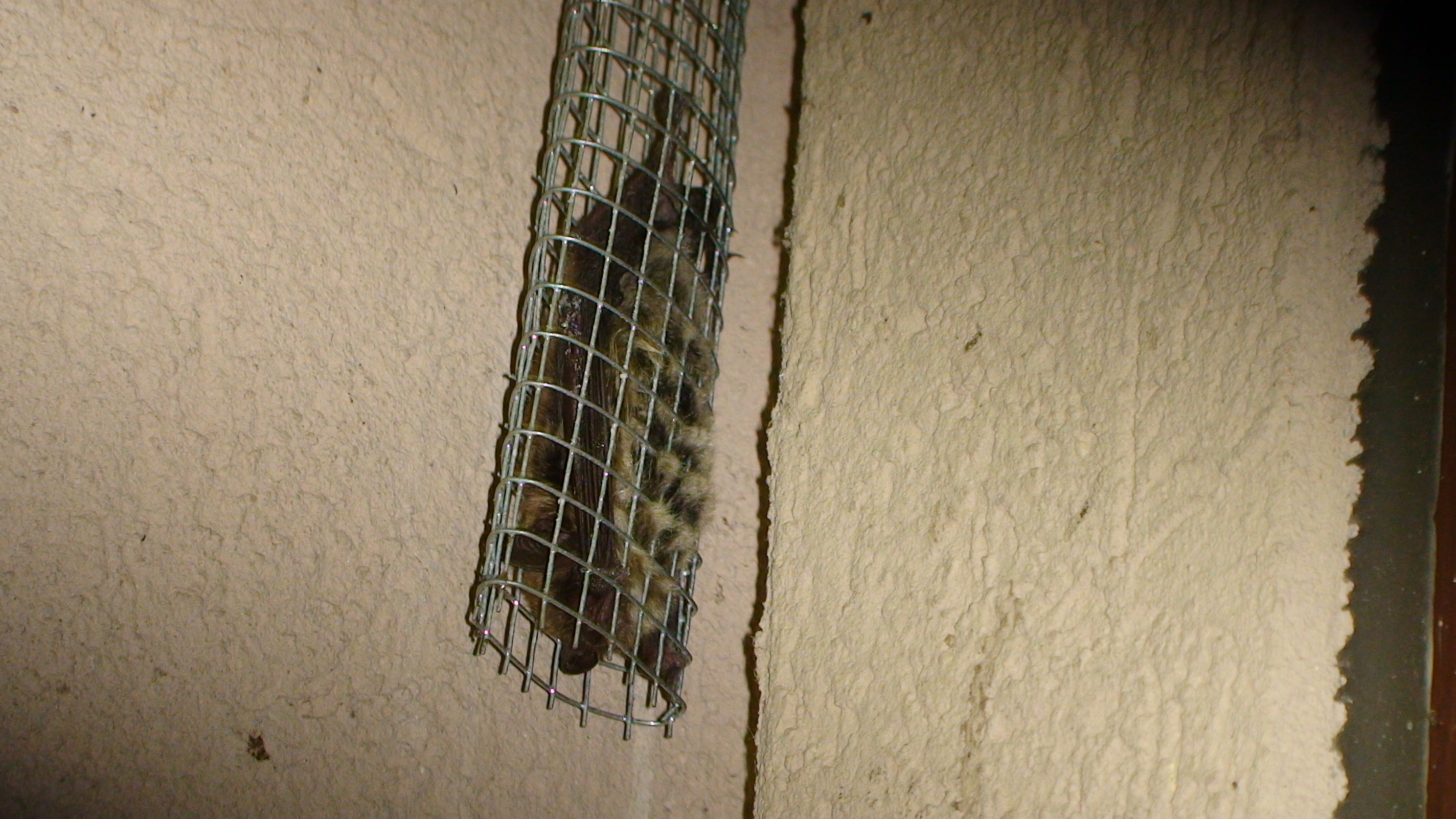 Bat Removal & Bat Control   Dane County Bat Removal